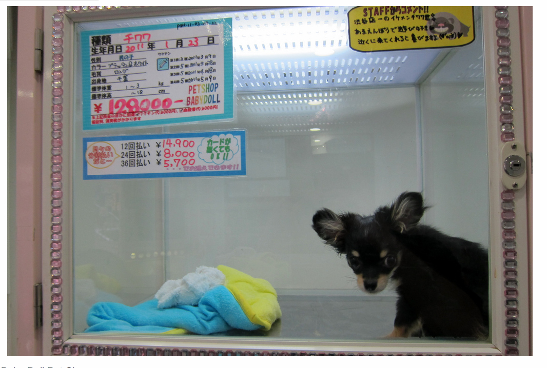 Dog on display in cage in pet shop in Shibuya Tokyo Japan