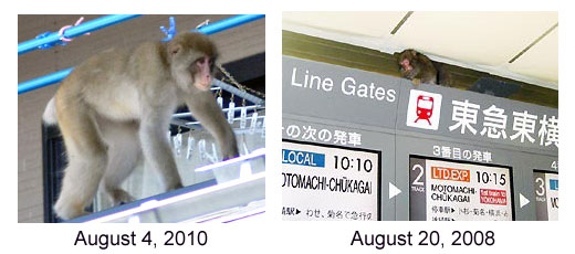 Shibuya monkey comes back to Tokyo after 2 years in hiding?